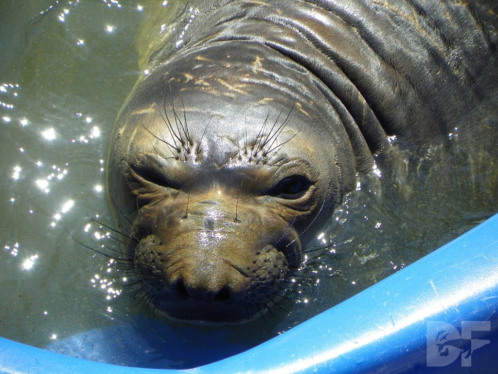 Elephant Seal Wink