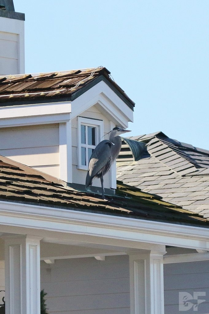 Great Blue Burglar?