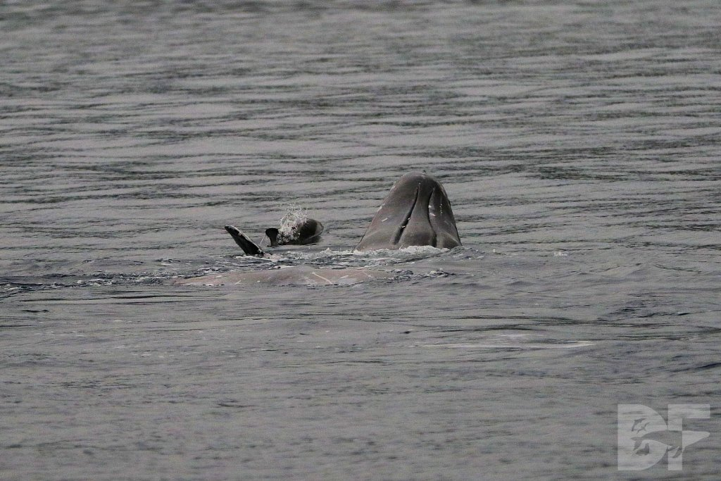 Gray Whale Backstroke II