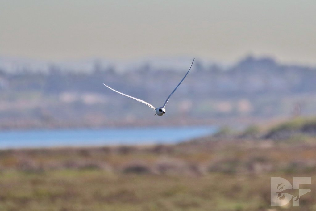 Forsters Tern I