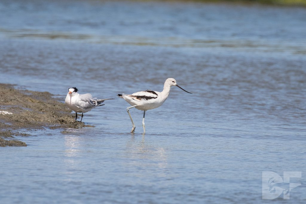 American Avocet and Elegant Tern