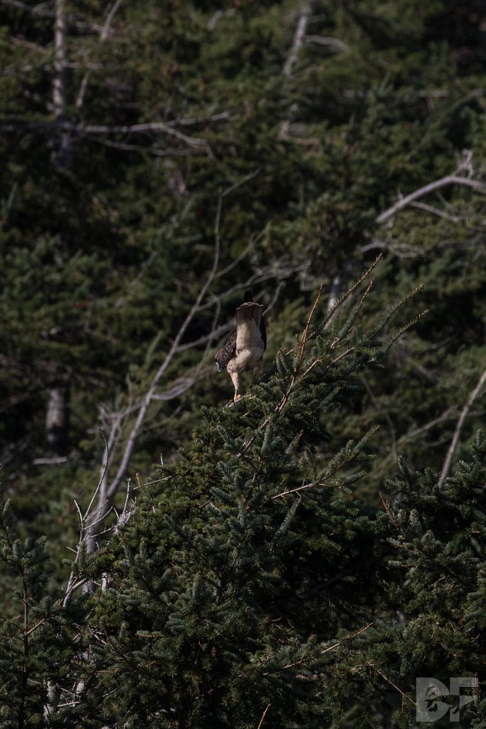 Aloof Red Tailed Hawk