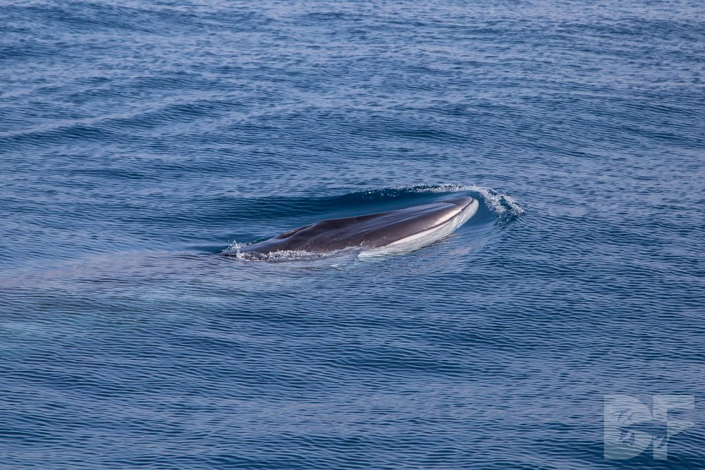 Only a Fin Whale I