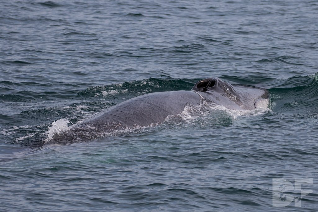 Fin Whale For Sure III
