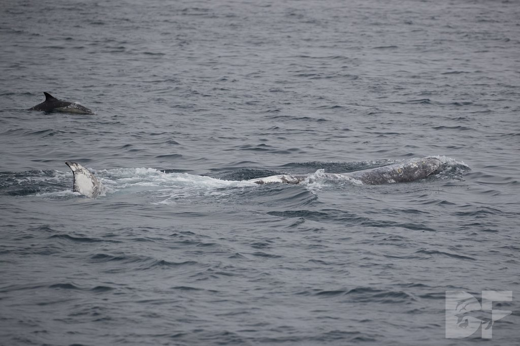 Gray Whale with the Good Fins IV