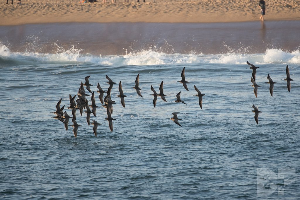 Bind of Whimbrels