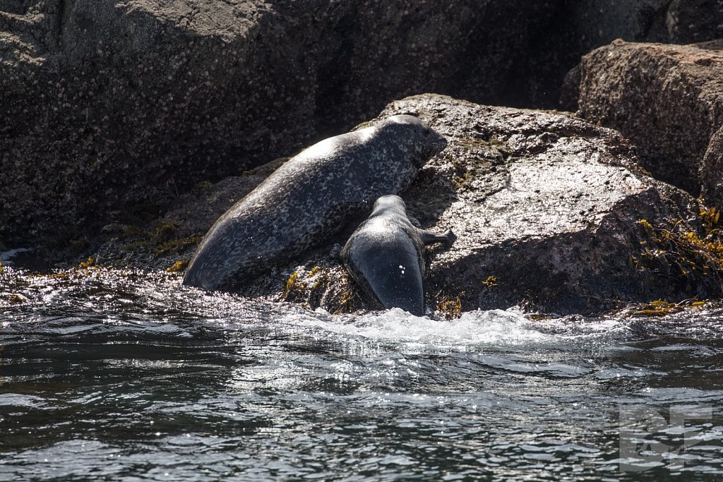 Harbor Seal Haven II