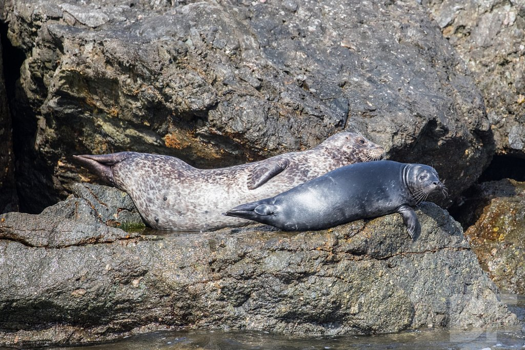 Harbor Seal Haven VIII