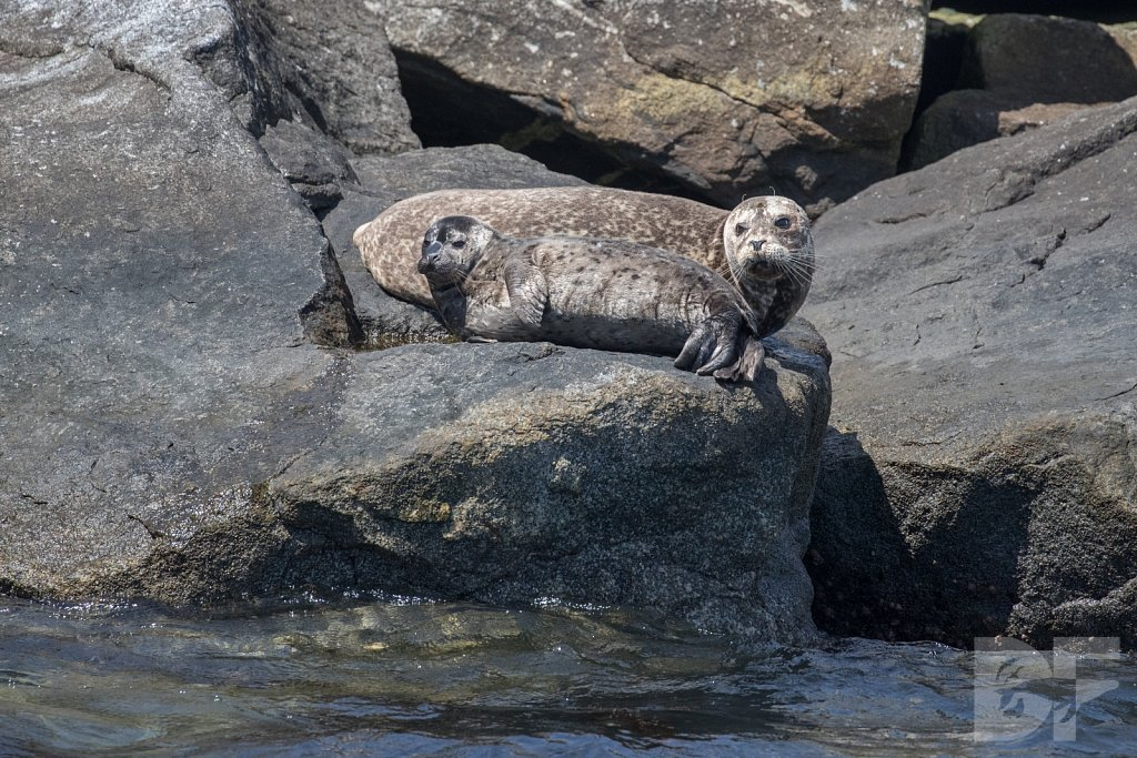 Harbor Seal Haven IX