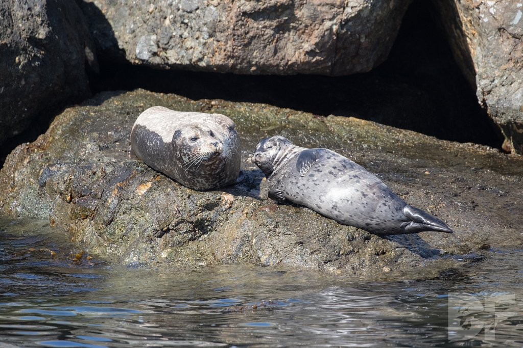 Harbor Seal Haven XI