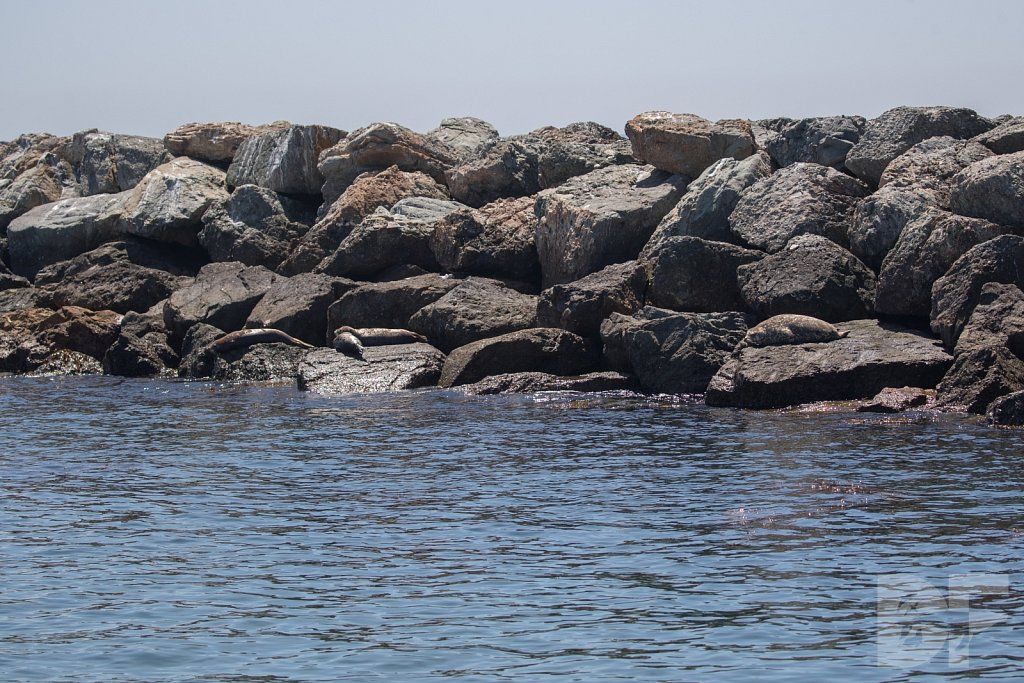 Harbor Seal Haven XVII