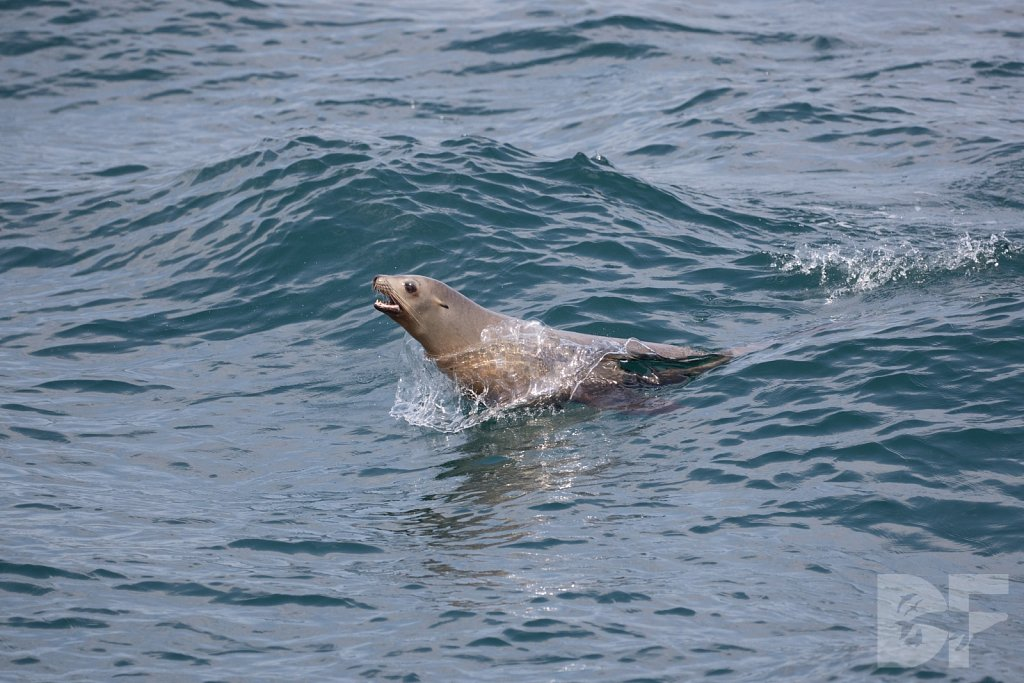 Sea Lion Surf Rider I
