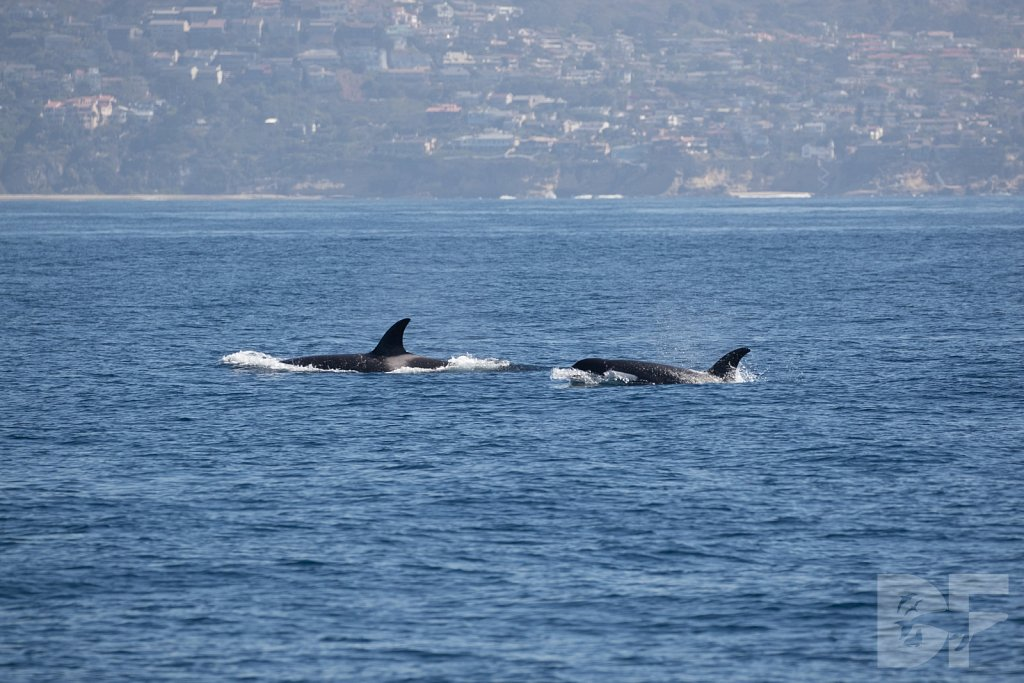 Orcas in October I