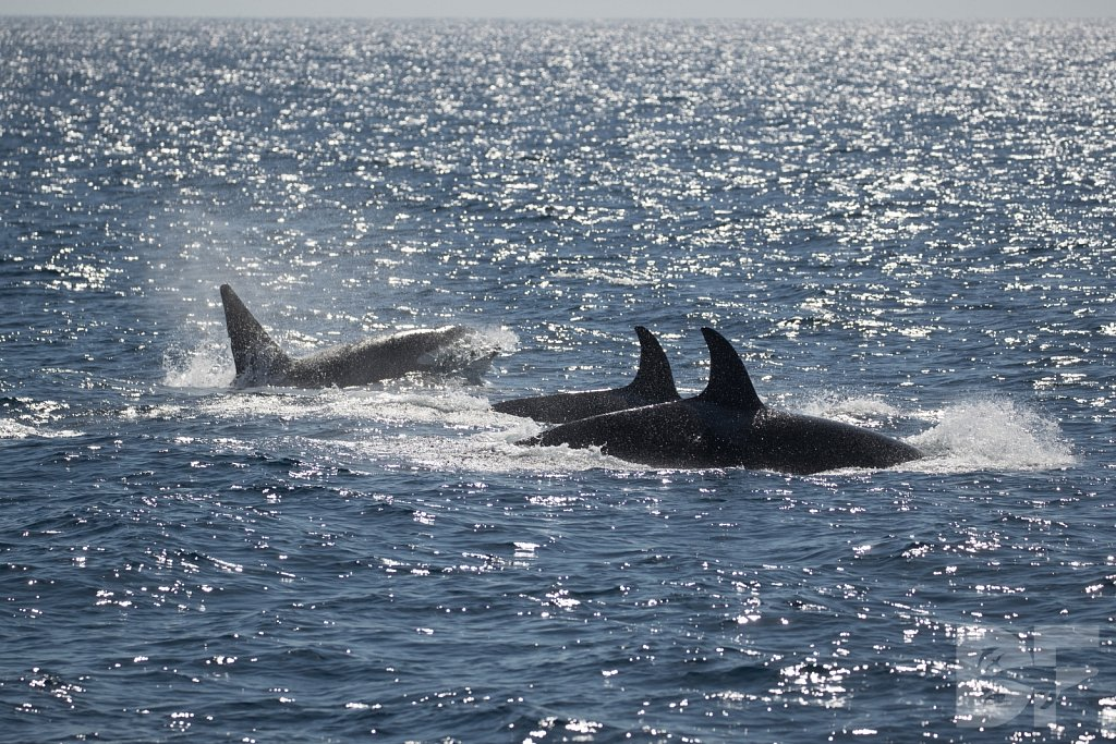 Orcas in October XII