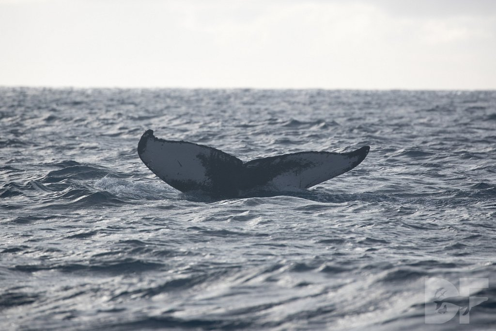 Humpbacks of the Silver Bank VI