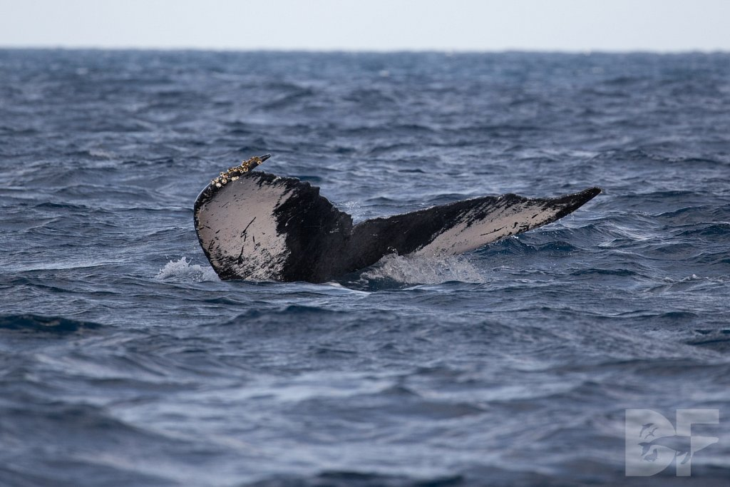 Humpbacks of the Silver Bank II
