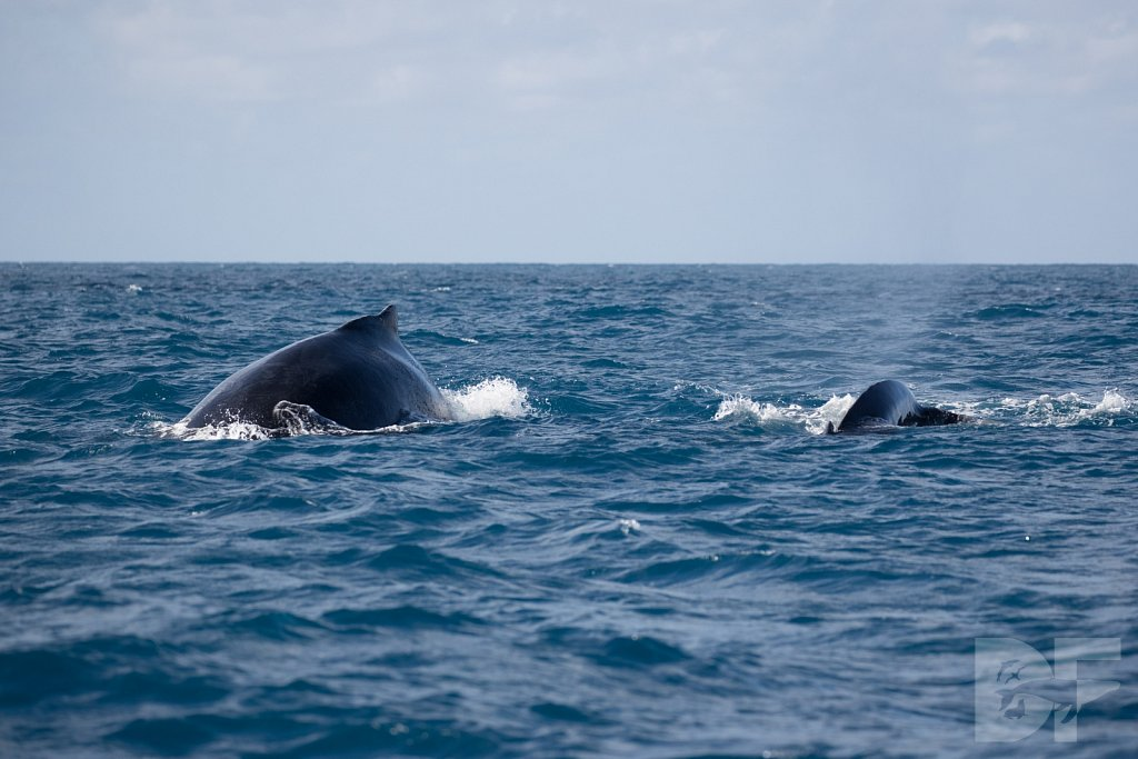 Humpbacks of the Silver Bank VIII