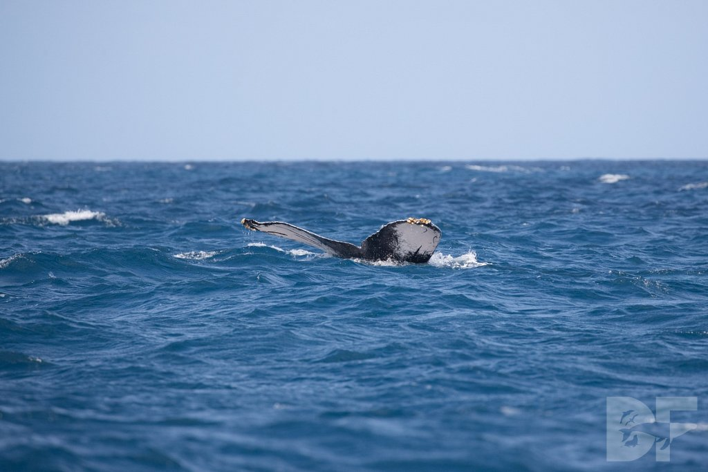 Humpbacks of the Silver Bank X