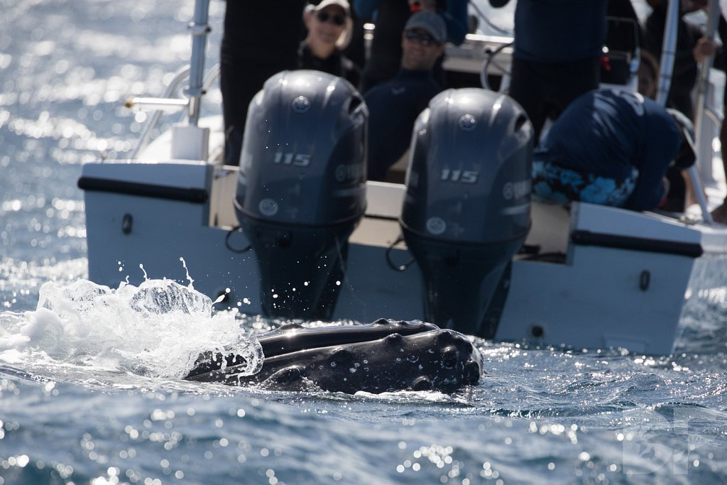 Humpbacks of the Silver Bank XVIII