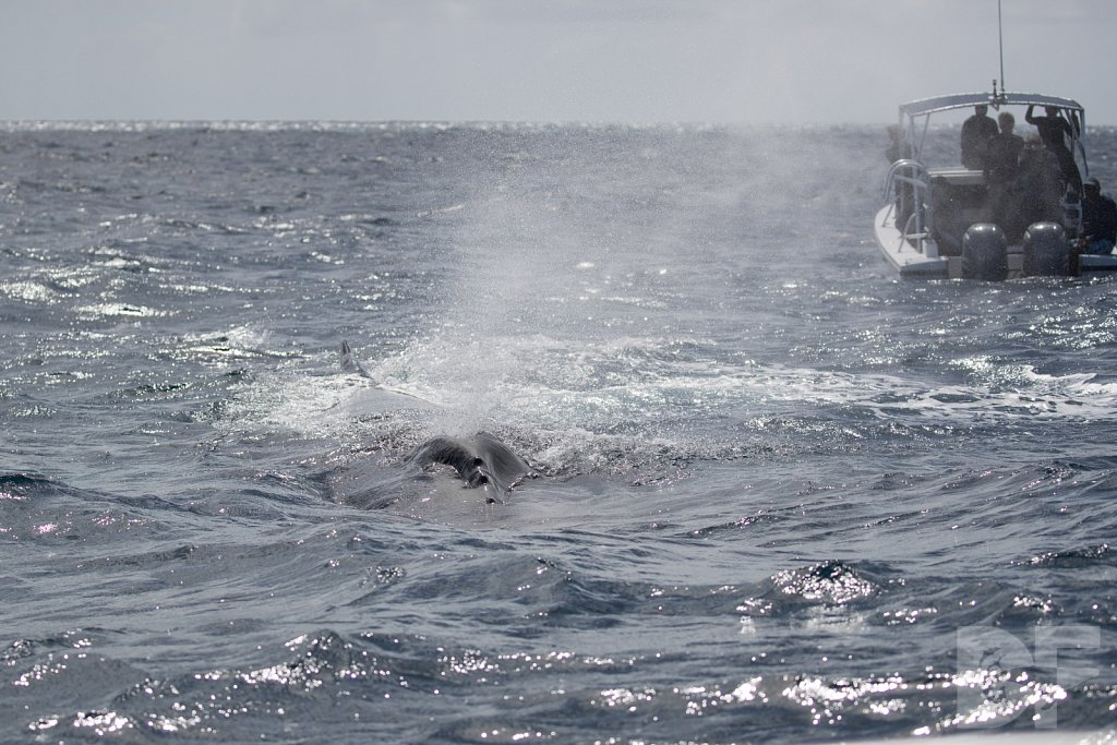 Humpbacks of the Silver Bank XIX