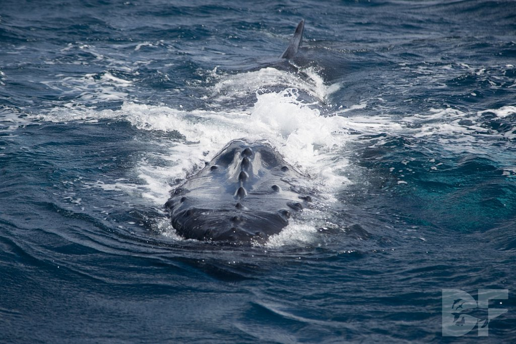 Humpbacks of the Silver Bank XX
