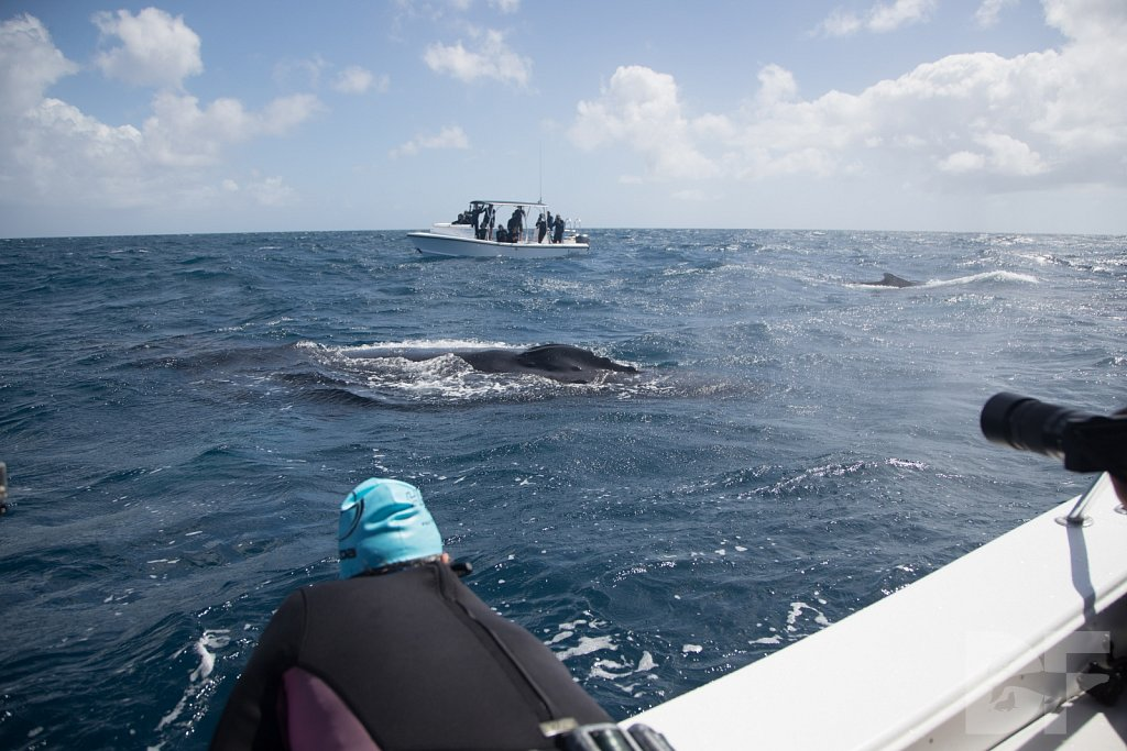 Humpbacks of the Silver Bank XXIII