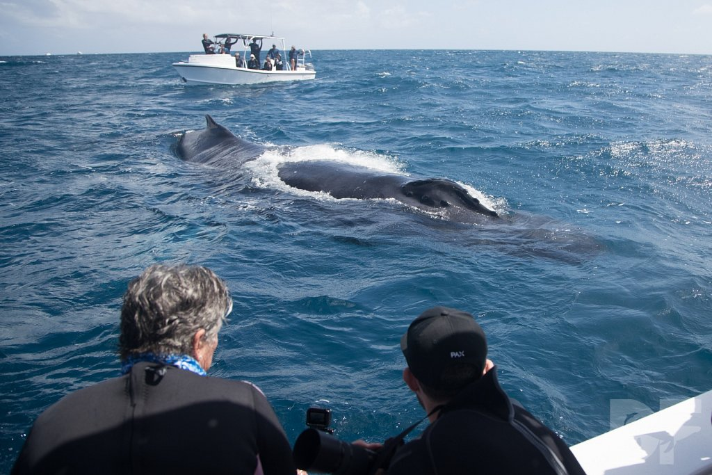 Humpbacks of the Silver Bank XXVIII