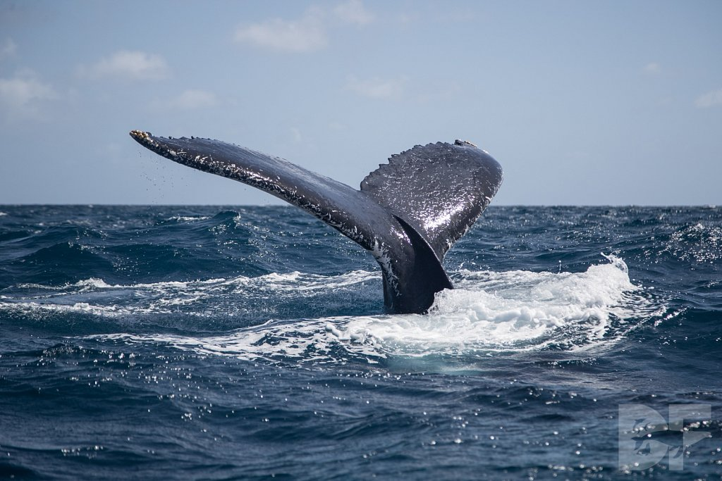 Humpbacks of the Silver Bank XXIX