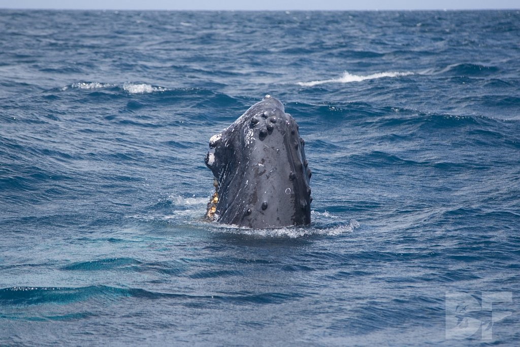 Humpbacks of the Silver Bank XXX