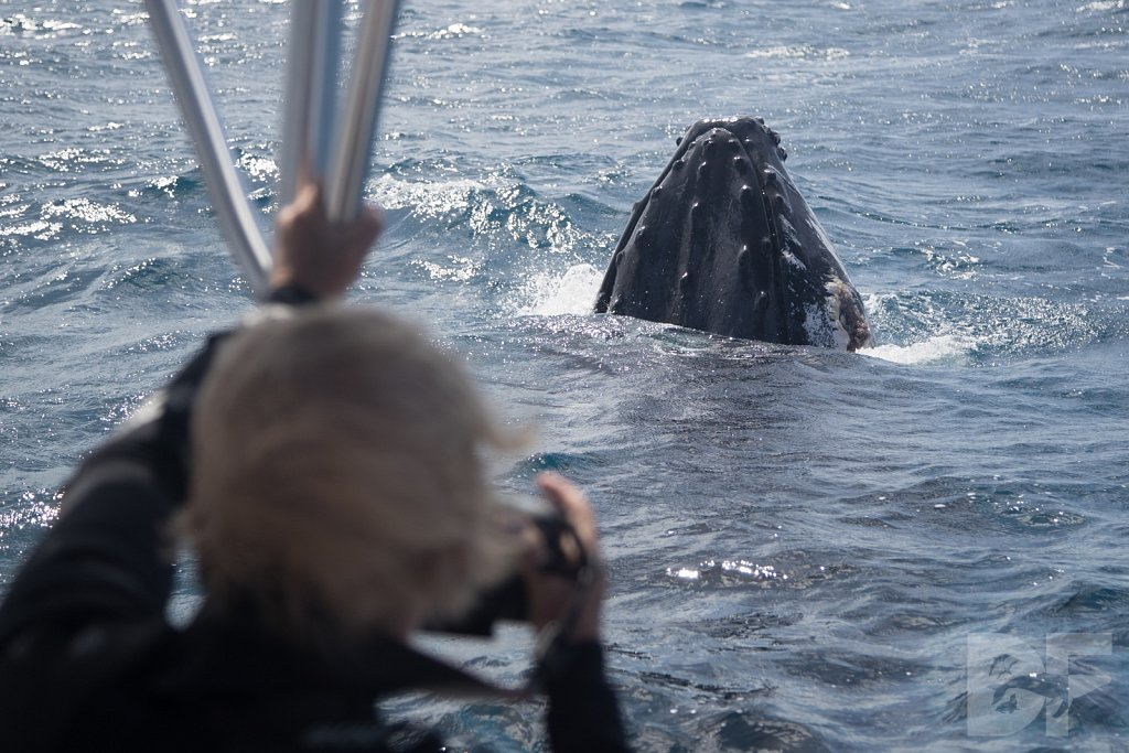 Humpbacks of the Silver Bank XXXVI