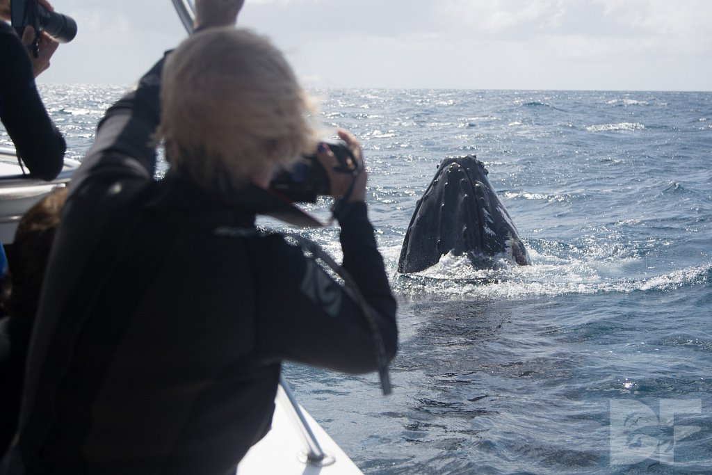 Humpbacks of the Silver Bank XXXVII