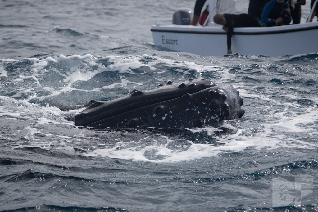 Humpbacks of the Silver Bank XLI