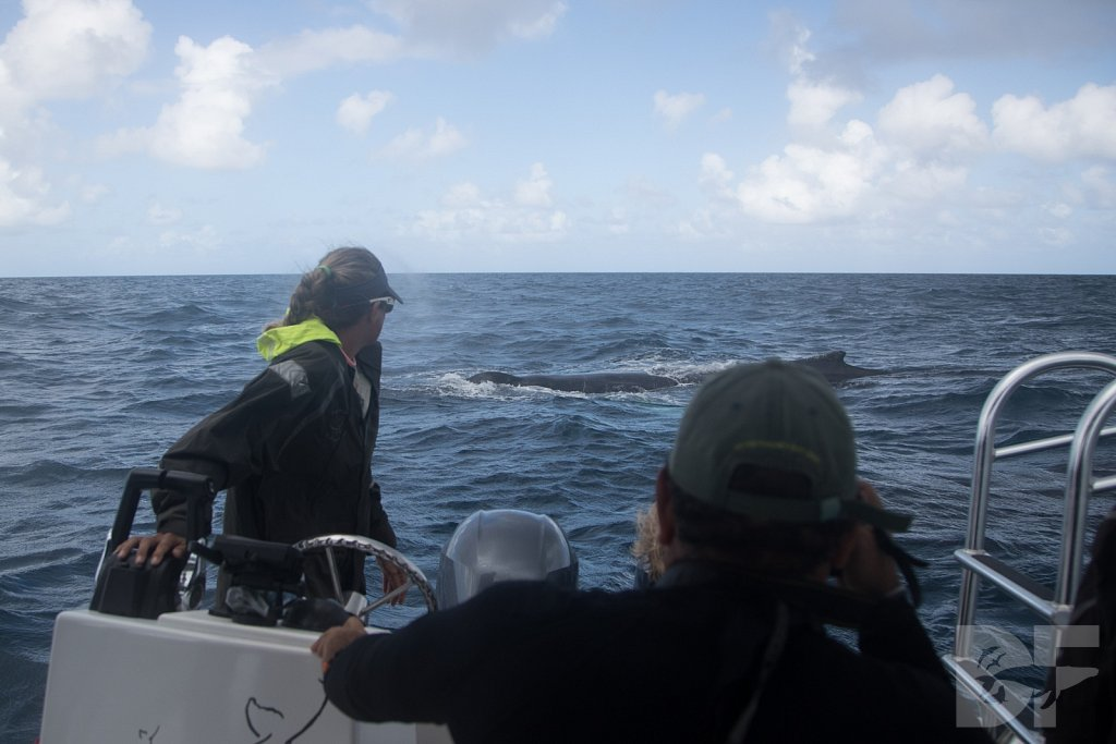 Humpbacks of the Silver Bank XLV