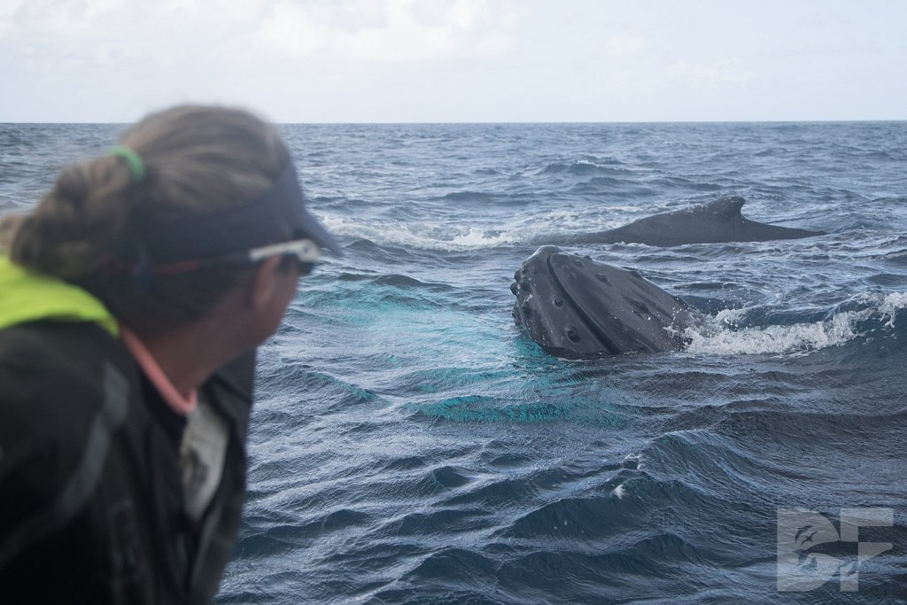 Humpbacks of the Silver Bank XLVII