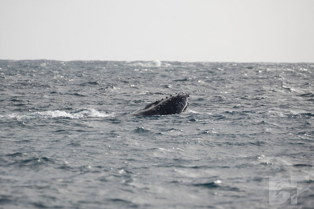 Humpbacks of the Silver Bank L
