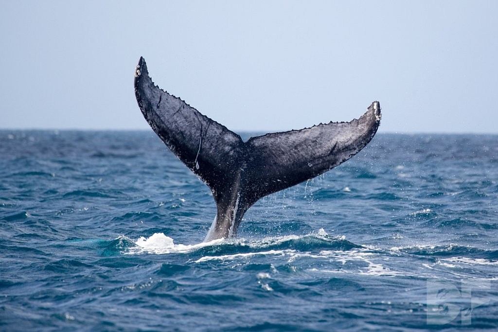 Humpbacks of the Silver Bank LI
