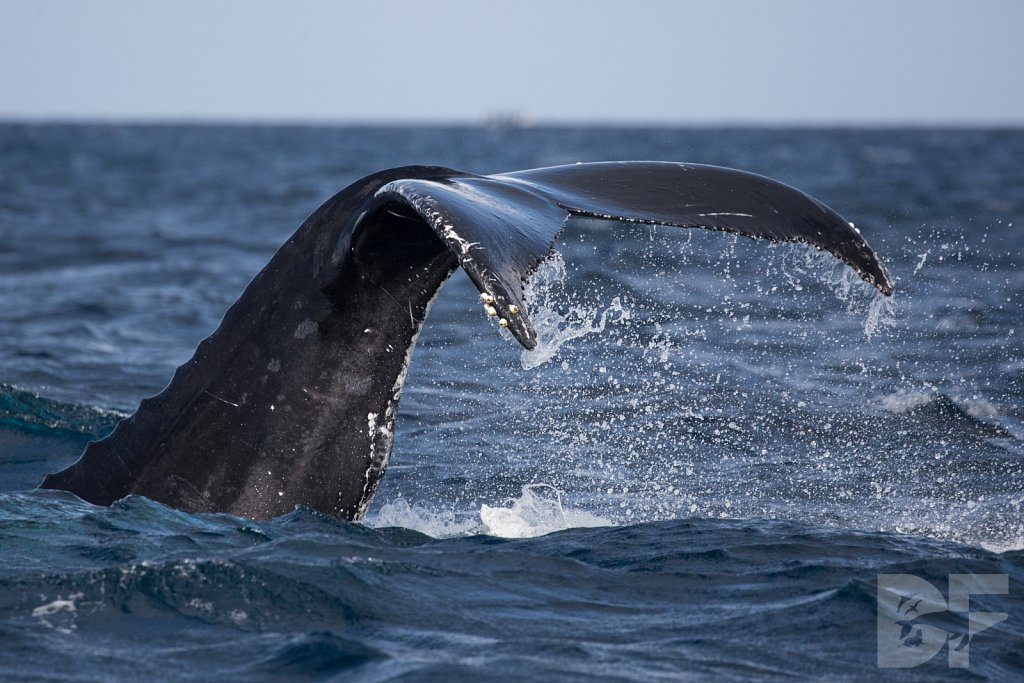 Humpbacks of the Silver Bank LIII