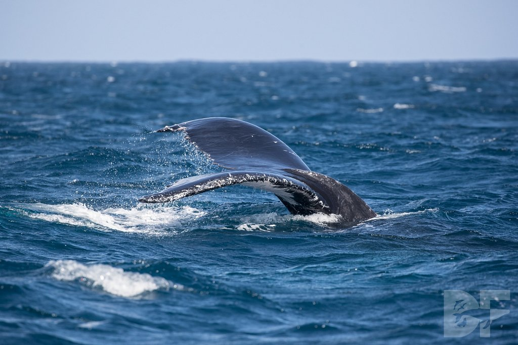 Humpbacks of the Silver Bank LV