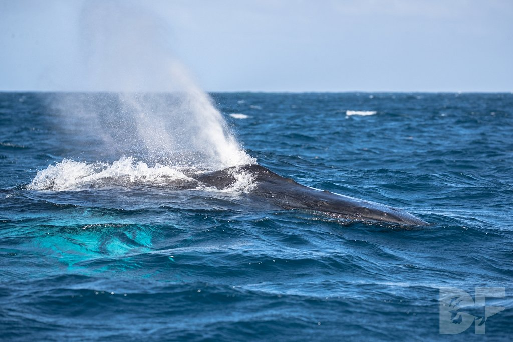 Humpbacks of the Silver Bank LIX