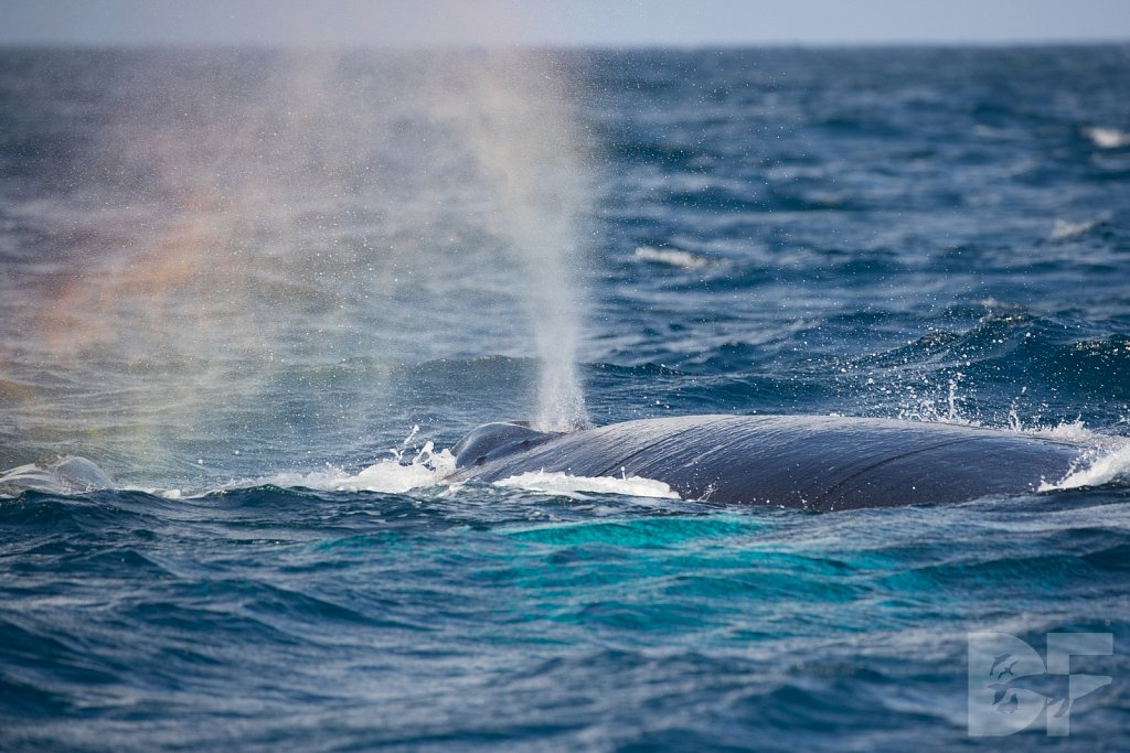 Humpbacks of the Silver Bank LXVIII