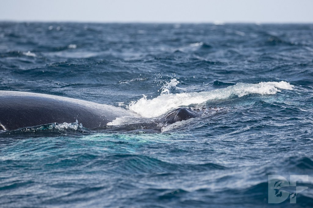 Humpbacks of the Silver Bank LXXI