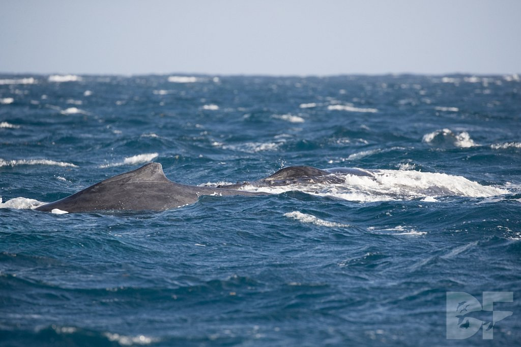 Humpbacks of the Silver Bank LXXX