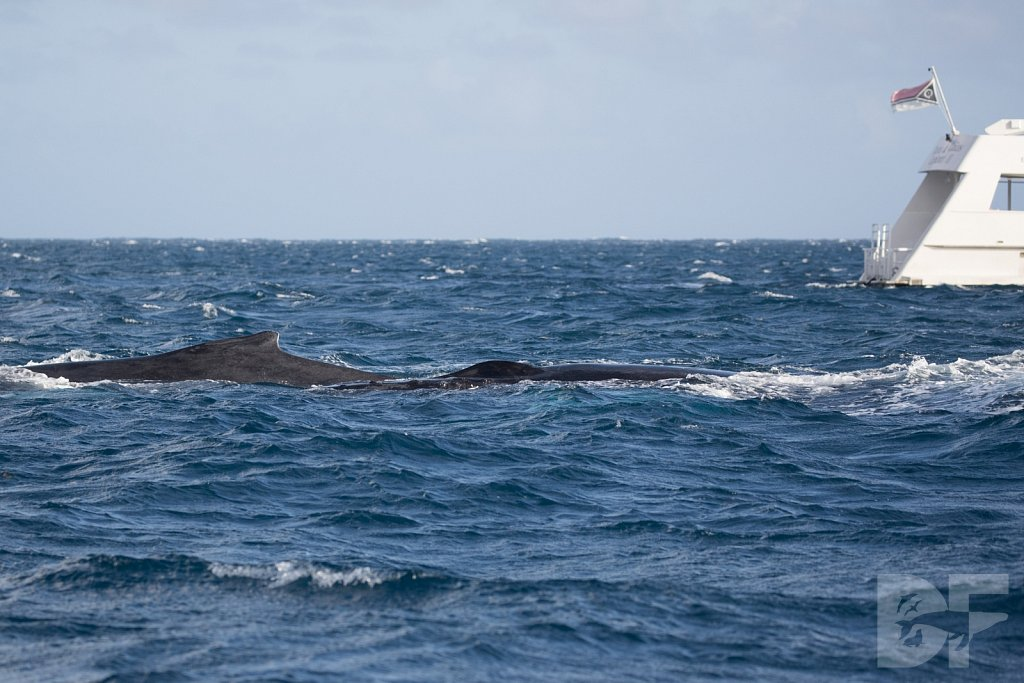 Humpbacks of the Silver Bank LXXXII