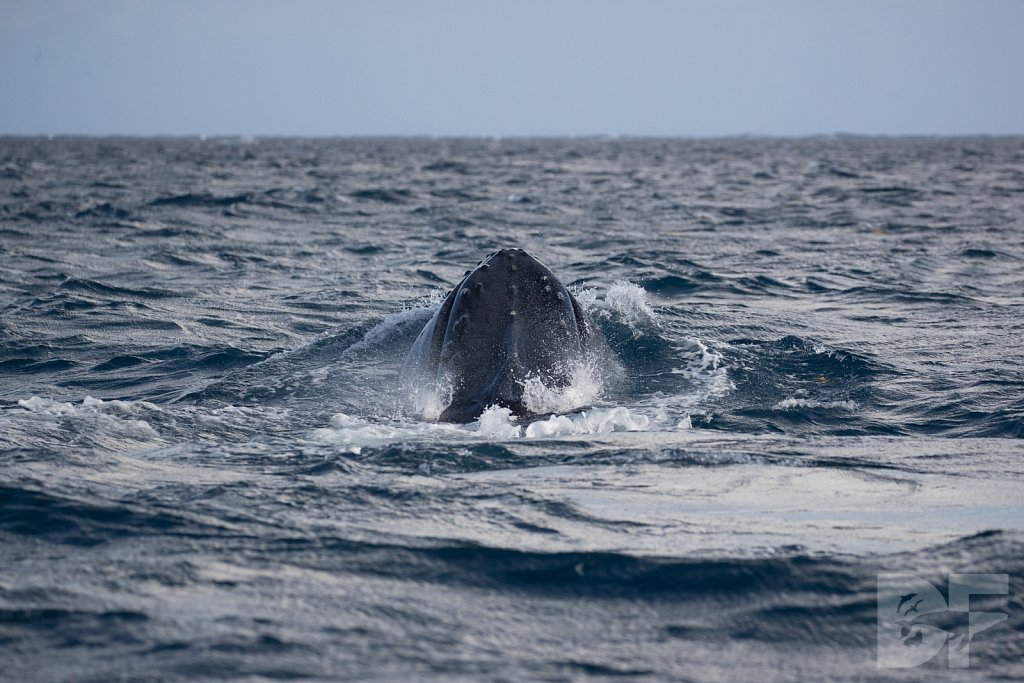 Humpbacks of the Silver Bank LXXXV