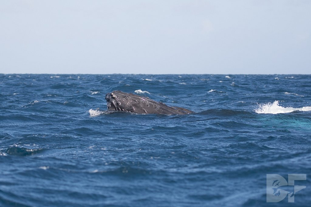 Humpbacks of the Silver Bank LXXXVIII