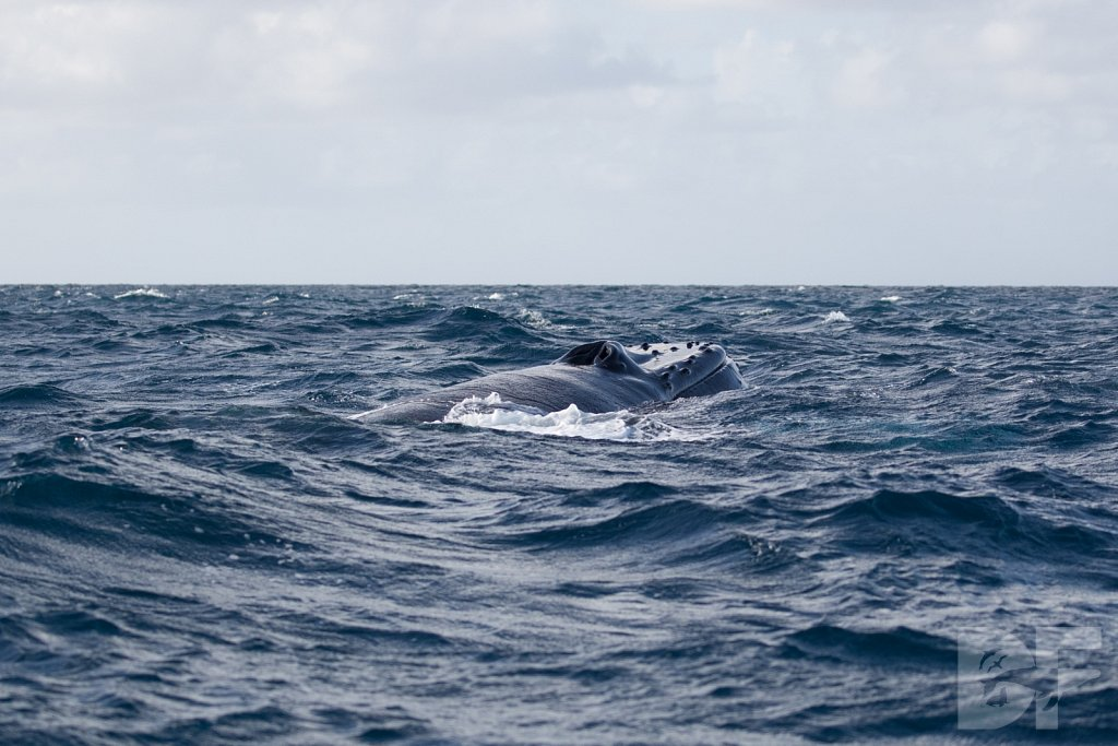 Humpbacks of the Silver Bank LXXXIX
