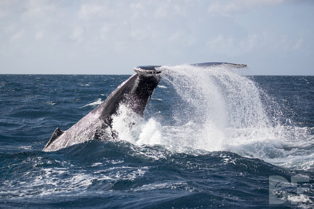 Humpbacks of the Silver Bank LC