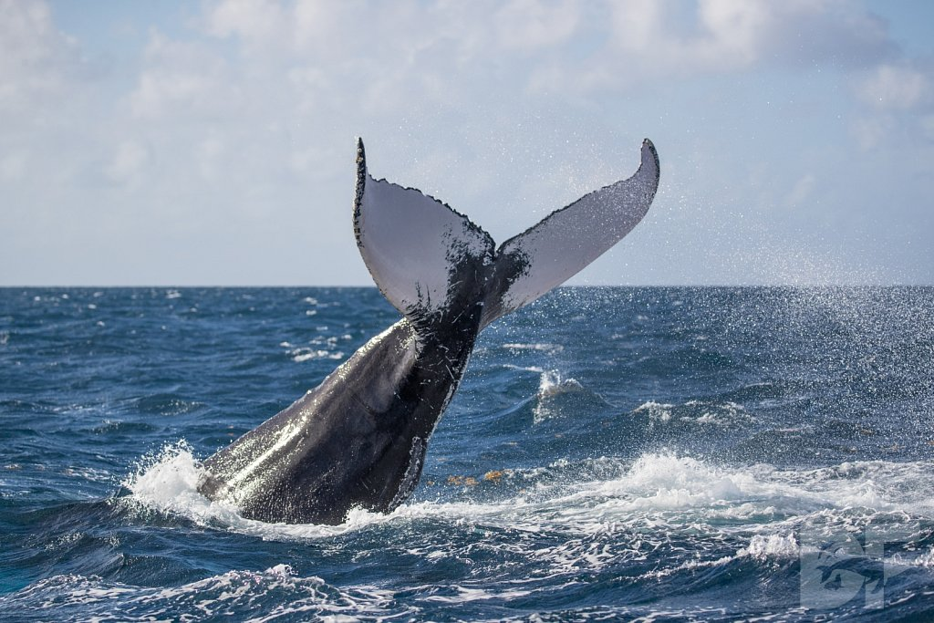 Humpbacks of the Silver Bank LCI