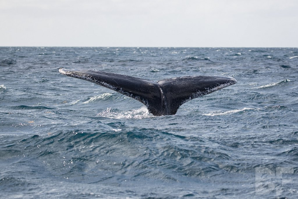 Humpbacks of the Silver Bank LCIII