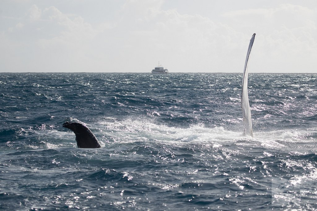 Humpbacks of the Silver Bank LCIV